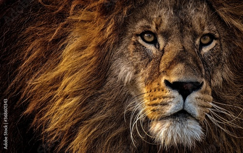 Foto portrait of a lion
