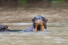 Giant River Otter (Pteronura B...