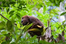 Southern Brown Howler Monkey (Alouatta Guariba Clamitans), Caratinga, Minas Gerais, Brazil