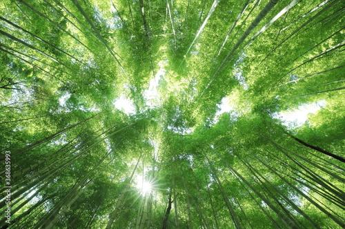 Obraz na plátně 竹林で見上げた空