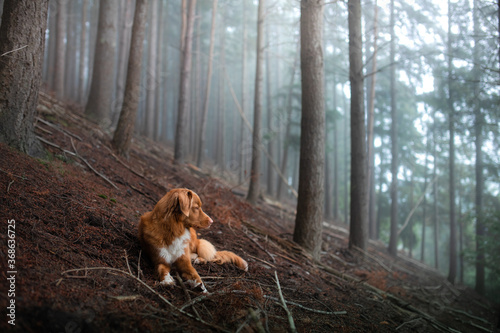 dog in a foggy forest. Pet on the nature. red Nova Scotia Duck Tolling Retriever. Mystical pet