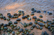 Variety Sizes Of Freshwater Golden Applesnails On The Sand Near The Water
