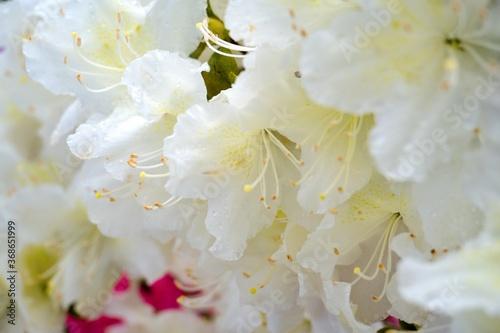 Valokuvatapetti Rhododendron Deciduous Azalea Knapp-Hill, mollis