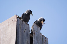 Jackdaws Sit On An Old Wooden ...