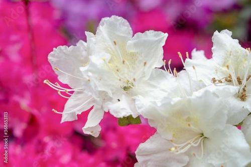 Fototapeta Rhododendron Deciduous Azalea Knapp-Hill, mollis