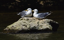 Two Seagulls On The Rocks