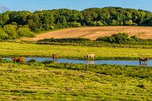 A View Of Long Horn Cattle Beside A River Near To Cley, Norfolk, UK