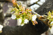 Branch of cherry tree with flowers and fresh young leaves on a blurred background of other branches, close-up in selective focus.