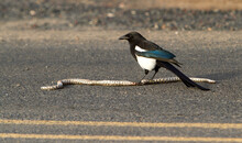A Magpie Feasting On A Snake He Caught Crossing A Paved Road