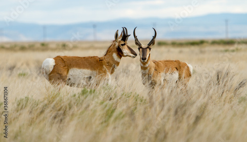 The pronghorn antelope is a species of artiodactyl mammal indigenous to interior western and central North America Canvas Print