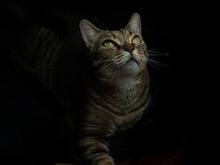 Tabby Cat Portrait In A Dark B...