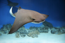 Cownose Ray Swimming In The Water,   Fish Underwater In The Aquarium