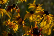 A Large Flower Bed Of Yellow Rudbeckia Flowers In A Web
