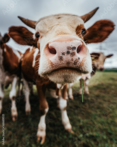 closeup of brown and white cattle on a meadow Fotobehang