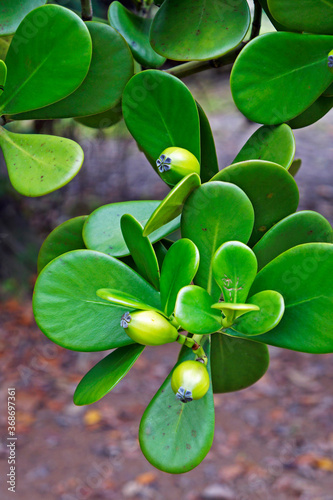 Fototapety, obrazy: Clusia fruits on tropical orest