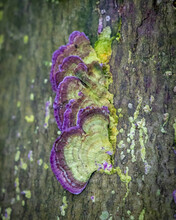 Trichaptum Polypore (violet-toothed Polypore) Growing On A Log