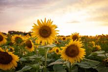 Large Field Of Beautiful Sunflowers. Beautiful Summer Day.