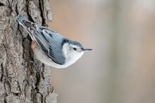 Female White Breasted Nuthatch...