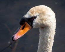 Close-up Of The Head Of A Mute Swan