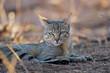 canvas print picture - Portrait of an African wild cat (Felis silvestris lybica), Kalahari desert, South Africa.