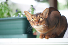 Abyssinian Cat In Collar, Sitt...
