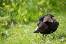 Common Moorhen (Gallinula Chlo...