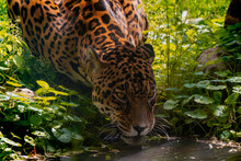 Jaguar Drinks Water On A Hot Day