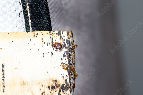 Bed Bugs, babies, and eggs and bed bug signs on bed slates Fotobehang