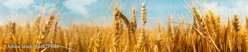 Agriculture panorama with a wheat field Saisonal wheat field in luminous golden colors Fototapet