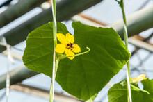 Cucumber Flower In Big Industrial Greenhouse