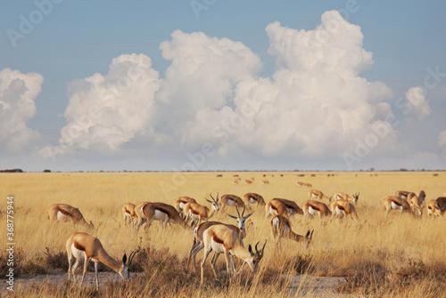 Obraz Springbok - fototapety do salonu