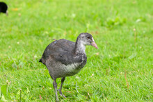 Young Eurasian Coot Walking At Amsterdam The Netherlands 29-7-2020