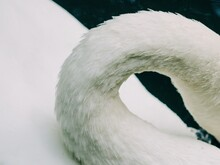 Close Up Of A Swan Neck