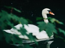 White Swan On The Water With Green Leaves In Foreground