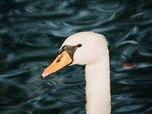 Close Up Of White Swan On The Water