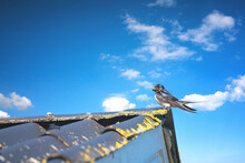 Swallow On A Roof Top In The Summer