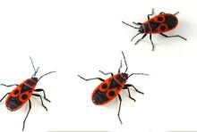 Firebug ( Pyrrhocoris Apterus)...