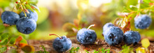 Fresh And Ripe Blueberries Wit...