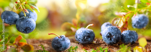 Obraz Fresh and ripe blueberries with green leaves growing in a forest. Concept of healthy and organic food. - fototapety do salonu