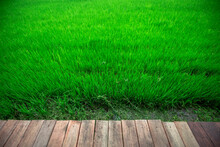 Close Background Of The Green Rice Fields, The Seedlings That Are Growing, Are Seen In Rural Areas As The Main Occupation Of Rice Farmers Who Grow Rice For Sale Or Living.