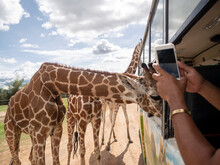Male Hand Using Smart Phone Taking Photo Of Giraffe When Eat Food From People On A Bus.