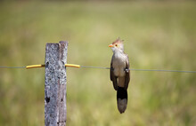 Guira Cuckoo Perched On A Fence