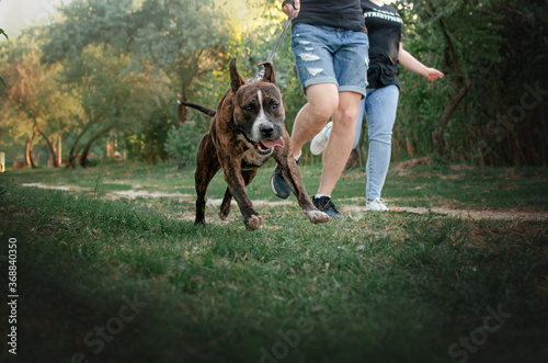 Foto brindle american staffordshire terrier cute kind dog walking in the park on a gr