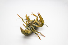 Live Crayfish Or Lobster Upside Down From The River On A White Background. Inverted Crayfish On White Background