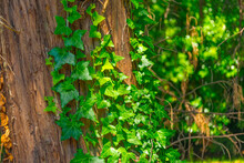 Ivy Plant Twists On The Bark Of A Century-old Tree In The Forest.