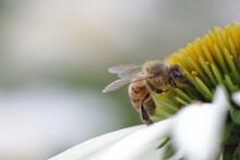 Honeybee Sitting On A White Coneflower
