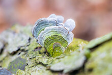 Faded And Algae-covered Stereum Ostrea (false Turkey Tail) Polypore Growing On A Log