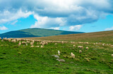 a flock of sheep on a pasture