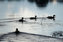 Four Ducks Swims On The River ...