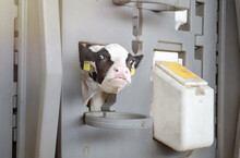 Dairy Calves Fed Milk In The Stable. Calf On A Dairy Farm Drinking Millk From A Drinking Bowls